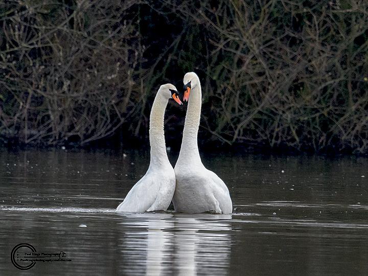 Mute-swans-grebesque