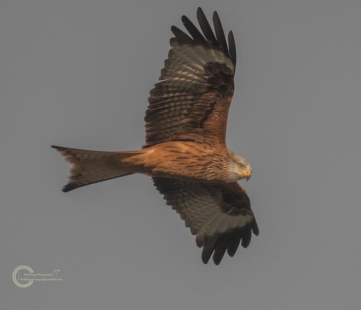 Red-Kite-Ynylas
