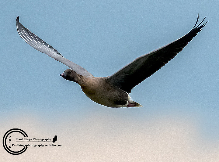 Pink-footed-Goose-a
