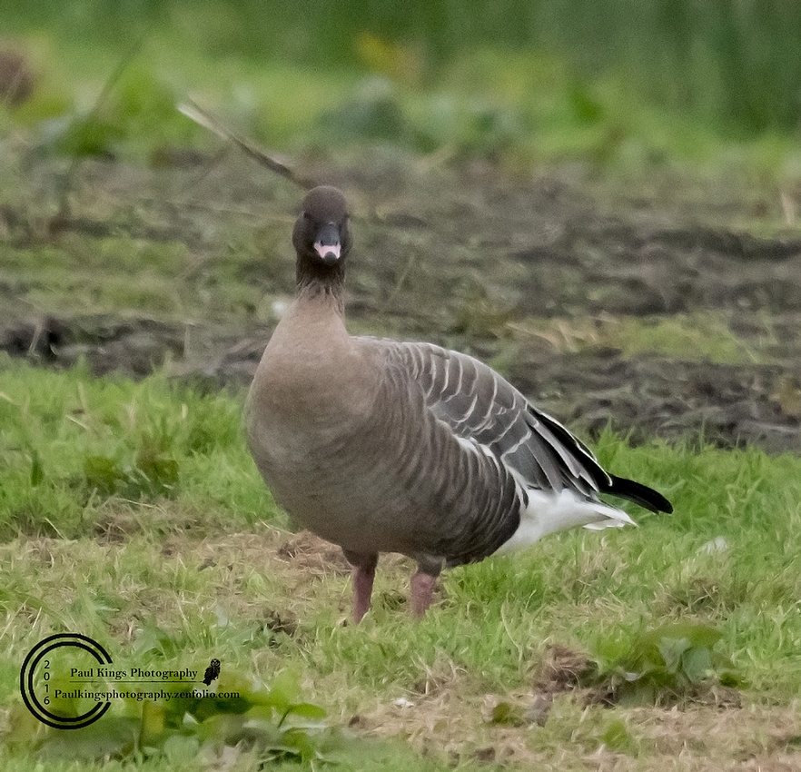 Pink-footed-Goose-1