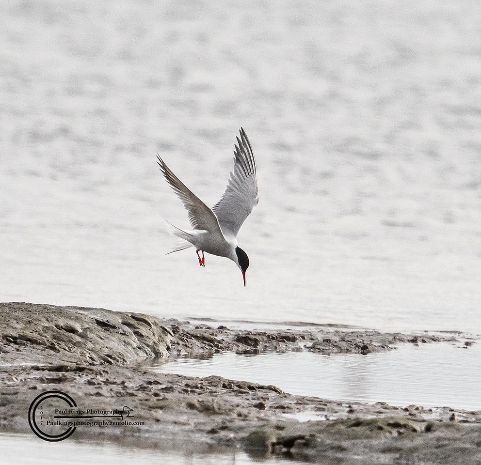 Little-Tern-hover