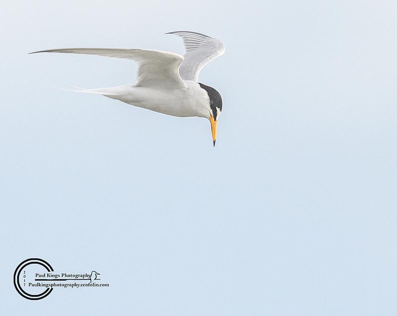 Little-Tern-Burnham-Overy