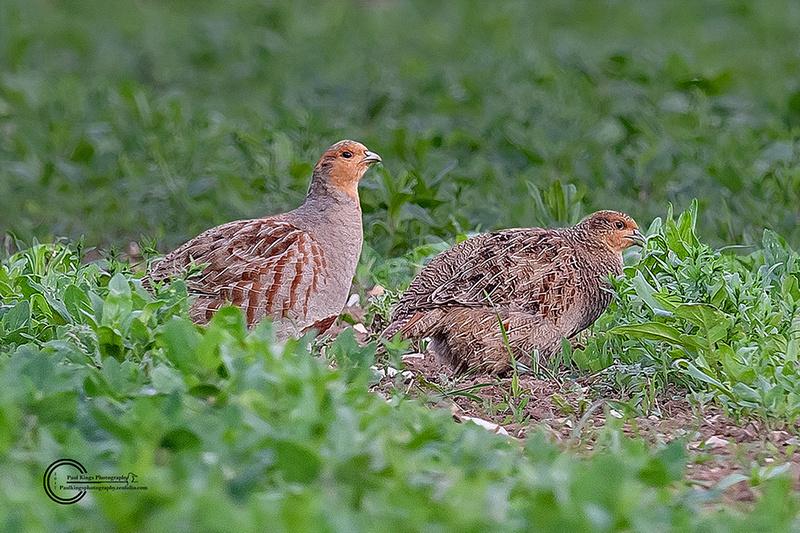 Mr-&-Mrs-Grey-Partridge