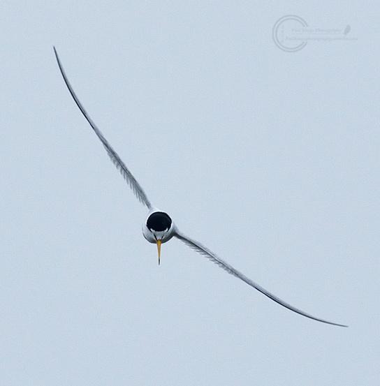 Little-tern-VP