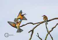 Bee-Eaters-Notts-East-Leake-2017-a