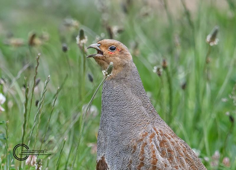 Calling-Grey-Partridge