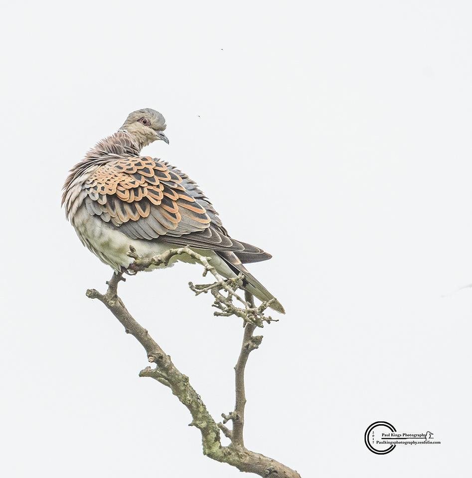Turtle-Dove-Titchwell